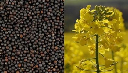 У майбутньому сезоні можна очікувати значне збільшення обсягів зовнішньої торгівлі ріпаком українського походження. За різними оцінками, експорт складе 1,7-1,9 млн т