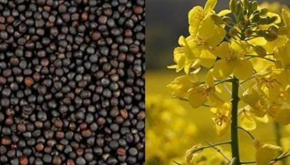 Снижение урожая рапса в 2016 году, как в Украине, так и в мире, привело к росту цен на эту масличную культуру. Рапс впервые за многие годы стал дороже подсолнечника