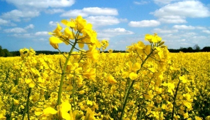 Зниження врожаю ріпаку в 2016 році, як в Україні, так і в світі, призвело до зростання цін на неї і рапс вперше за багато років став дорожче соняшнику