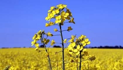 Рентабельність вирощування озимого ріпаку в Україні може досягти 83%, рентабельність соняшнику очікується на рівні 79%