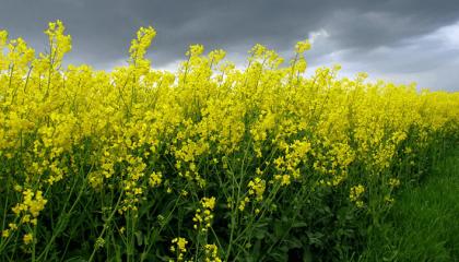 Вимерзання ріпака можна уникнути, якщо дотримуватися оптимальної агротехнології