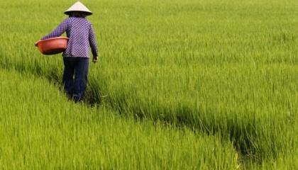 У Японії виростили рис, який цвіте тільки після обробки певним хімікатом. На думку вчених, відкриття може допомогти фермерам у плануванні врожаю