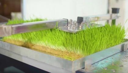 На закритих фермах можна вирощувати будь-які зернові. Однак з точки зору поживності найбільш ефективний ячмінь