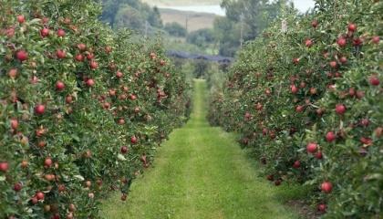 По официальной статистике, рост производства плодов и ягод происходит с 2007 года. Однако обеспечивается это за счет вступления в плодоношение садов, заложенных еще 20-30 лет назад