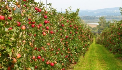 Найпопулярніший фрукт серед органічних виробників - яблуко, причому на переробку на зовнішній ринок