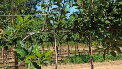 Высокая стоимость закладки сада с большим количеством закупаемых саженцев в интенсивных системах промышленных садов подтолкнула садоводов к экспериментам. Решением проблемы стала система DaVo