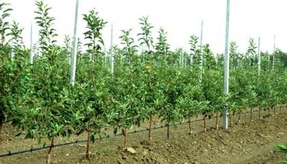 Від правильності посадки і подальшого догляду залежить, як швидко дерево почне плодоносити і яким урожаєм буде радувати господаря
