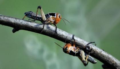 Появление этого насекомого - тревожный звоночек, который показывает на серьезные изменения в экосистеме северного Крыма. И эти перемены, по прогнозам ученого, со временем могут поставить под вопрос существование земледелия в регионе
