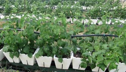 В Україну найчастіше імпортується садивний матеріал з Італії, Великобританії, Сербії та Польщі, частково – США