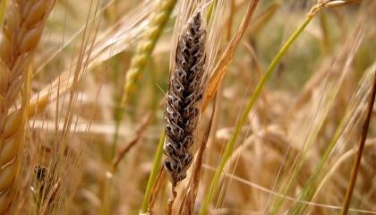 Список хвороб пшениці очолює Сажка тверда (частка зараження складає 42%), за нею йде Сажка карликова (24.48%), альтернаріоз (33%) та фузаріоз (14%), ріжки (2,8%)