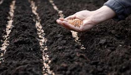 Коли висіяти насіння, зібране з гібридного плоду, а не сортового, то з нього виросте щось зовсім незрозуміле і зазвичай несхоже на ту рослину, з якої було зібрано насіння