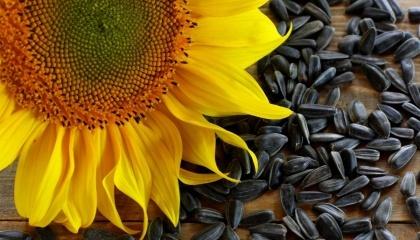 В Ровенской области, по сравнению с остальными областями Украины, наблюдалась лучшая динамика роста производства семян подсолнечника