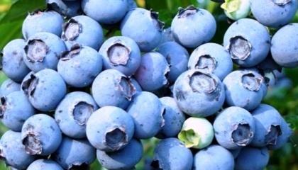 Основним споживачем перуанської лохини став найбільший в світі споживач цієї ягоди  – США
