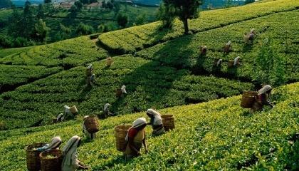 Чайна промисловість Шрі-Ланки переживає зростання витрат, викликаний необхідністю ручного видалення бур'янів. Така необхідність з'явилася після заборони на імпорт хімічної гліфосату