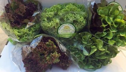 """ООО """"Галиция Гринер"""" в Украине с 2012 году занимается выращиванием салатной зелени в теплицах методом сухой гидропоники"""