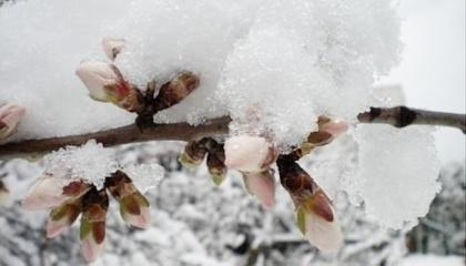 Профессиональные хозяйства применяют соответствующие методы защиты от морозов, создавая дымовые завесы, опрыскивая деревья специальными препаратами и водой, благодаря чему обеспечивается завязь плодов и их созревание. Зато обычные крестьяне подобной возможности не имеют