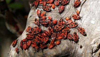 Заводи будуть культивувати чорного солдата - вид комах, який згідно з науковими даними, один з кращих джерел протеїну в світі комах