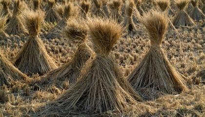 Есть три веские причины для полного отказа от сжигания соломы, которая используется как источник энергии во многих хозяйствах