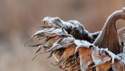 В умовах південного степу ставка на іноземні гібриди з їх розрекламованою врожайністю себе вочевидь не виправдовує