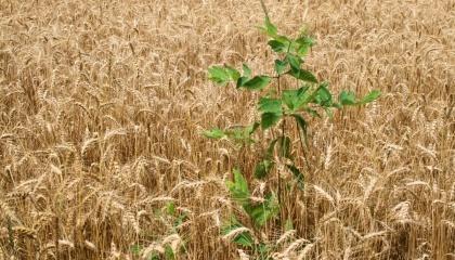 57% з 400 обстежених полів мають бур'яни, стійкі до однієї або декількох груп гербіцидів