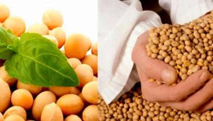 Компания «Агропродсервис» выращивает и предлагает сельхозпроизводителям исключительно сорта сои без ГМО