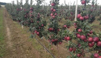У Польщі цього року буде зібрано всього від 2,3 до 2,6 млн т яблук або на мільйон тонн менше, ніж у 2016 році