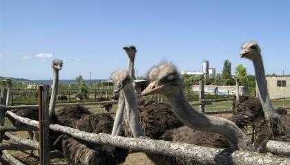 В страусе можно использовать все: мясо, яйца, кожу, перья и даже когти. Не стоит забывать и о туристах, которые, помимо оплаты за вход в «зоопарк», покупают сувениры, отведают блюд из страусятины и посмотрят страусиные бега