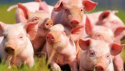 Експорт української свинини в 2016 році скоротився в 10 разів. Україна втратила багато ринків збуту і в цьому році виробникам доведеться шукати нові виходи, щоб зберегти рентабельність
