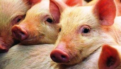 На начало 2017 года в Украине насчитали 6,69 млн свиней. По данным Госстата, это на 390 тыс. меньше, чем было год назад