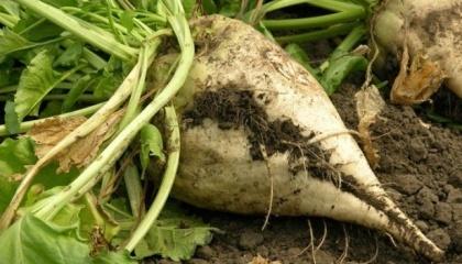 В «Україна-2001» визначилися з насінням: 50% - від KWS, інші - від Strube і SESVanderHave. Тут відмовилися від вітчизняної селекції, не підійшли і гібриди Малібу Syngenta