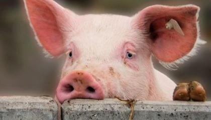 Білорусь тимчасово обмежила постачання свинини з Луганської та Закарпатської областей України через виникнення там вогнища африканської чуми свиней (АЧС)