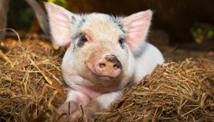 По мірі зростання внутрішньої ціни на ринку живця ризики імпорту канадської свинини будуть посилюватись