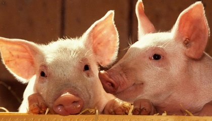KSG Agro расширяет количество покупателей на грузинском рынке, где средняя цена мяса на 20% выше, чем на украинском рынке