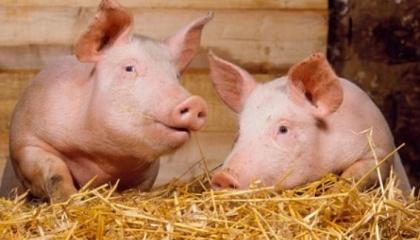Була введена повна заборона на імпорт: живих тварин, сприйнятливих до вірусу африканської чуми свиней (домашні і дикі свині); м'яса, м'ясопродуктів та інших продуктів; кормів, комбікормів і преміксів, призначених для годування свиней