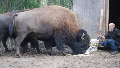 В канадской провинции Альберта умер Тарас Казна (Казнистий) - фермер украинского происхождения, прославившийся после публикации видео с кормлением бизонов, которых созывал на украинском языке