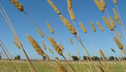 Для дослідів були обрані поширена в Австралії трава з сімейства злаків Phalaris aquatica і рослиноїдні цвіркуни, для яких ця рослина є звичною їжею