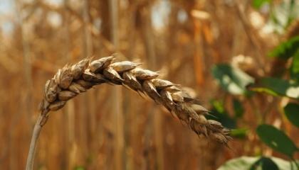 Останніми роками Сумщина значно розширила й активізувала власний потенціал як зернова область