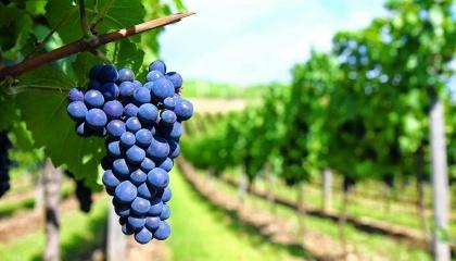Очікується, що виробництво винограду у країнах ЄС в цілому скоротиться на 61 тис. т, до 1,7 млн т. При цьому спостерігаються тенденції загального зменшення площ насаджень виноградників