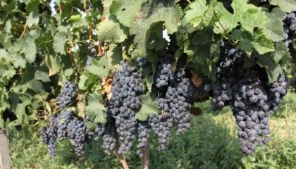 Ученые установили, что пригодных для выращивания винограда земель край за Карпатами имеет около 2% общего объема сельскохозяйственных угодий, или 8 тыс. га