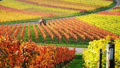 Згідно з кадастровими даними, в Україні всього 44 тис. га виноградників - без урахування території Криму. Це критична межа, після якої може наступити крах галузі виноробства