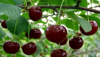 Мировое производство вишни небольшое - всего 1,3 млн т в год, площади насаждений составляют 207 тыс га. В Украине ежегодно в среднем собирают около 180 тыс т вишни с 19,7 тыс га, что составляет 13,4% мирового производства