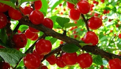 Украина в течение нескольких сезонов Украина стабильно держится среди лидеров производства вишни в мире и обладает крупнейшими в Европе темпами закладки вишневых садов