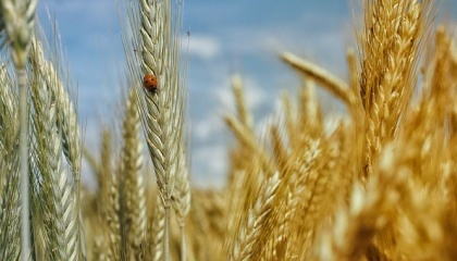 В Госпродпотребслужбе сообщили о фитосанитарном состояние сельскохозяйственных культур по состоянию на 7 июля