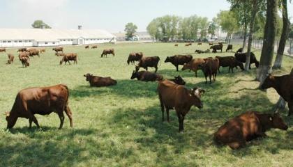 У всіх категоріях господарств чисельність поголів'я великої рогатої худоби налічує 108,1 тис. голів або 103 % до минулого року. Надій молока на одну корову у сільгосппідприємствах зріс на 609 кг і становить 4718 кг або 115 % до рівня минулого року