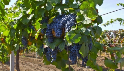 Бывшие винные совхозы Закарпатского региона, которые могли бы производить конкурентоспособную продукцию и превратить Закарпатье на винодельческую столицу Украины, стоят