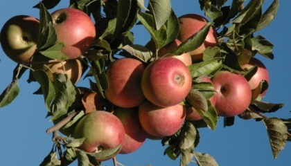В садоводстве зарабатывать удобно или на очень ранних сортах яблок или на зимних