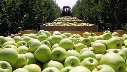Яблоки Голден, которые являются одними из самых дорогих в Украине среди других популярных сортов, подорожали почти в 1,5 раза