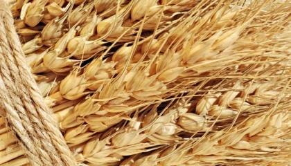 Агрохолдинг «Мрия» имеет свои качественные семена ячменя, поэтому в этом году приняли решение заменить ими яровую пшеницу, семена которой необходимо закупать