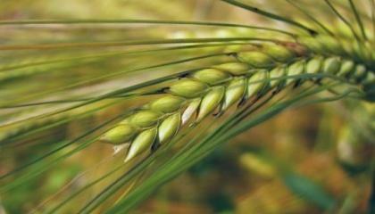 Глобальні тенденції зниження цін на зернові культури в значній мірі торкнулися ячменю