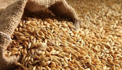 Аграрии Херсонской области отмечали в ряде случаев ухудшение качества озимого ячменя